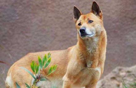 Phát hiện lại âm thanh của giống chó cổ đại cực kỳ đặc biệt biết hát tưởng chừng đã tuyệt chủng cách đây 50 năm